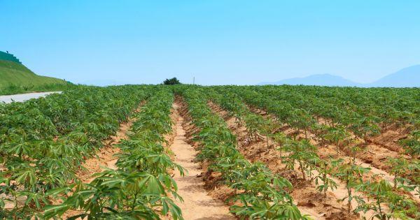 uprawa manioku