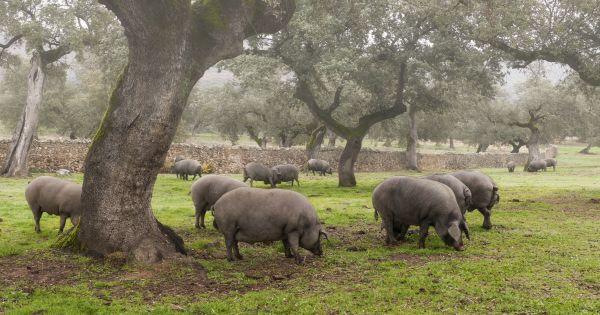 Świnie iberyjskie na pastwisku