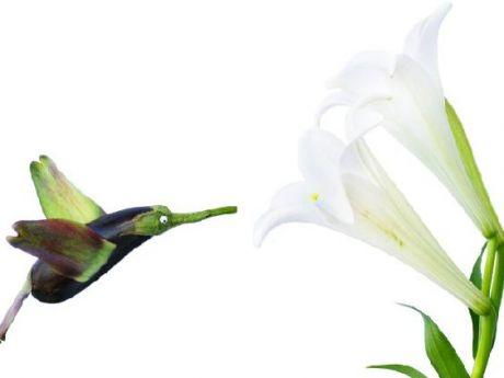 bakłażanowy koliber