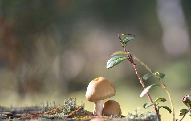 Kołpak grzyb